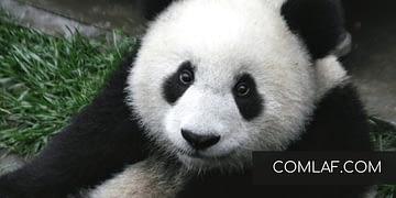 tatlis-panda