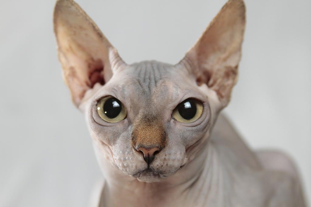 sfenks-kedisi-özellikleri